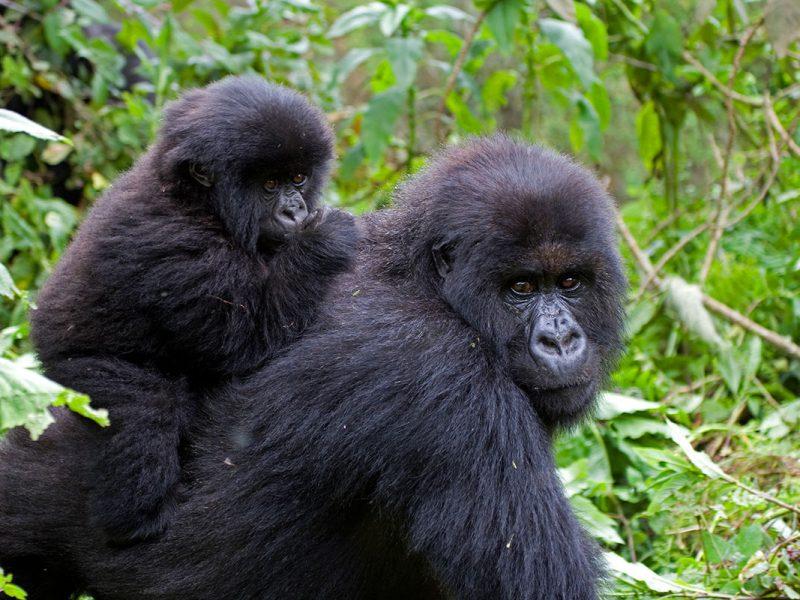 Guide to Gorilla Trekking in Uganda & Rwanda